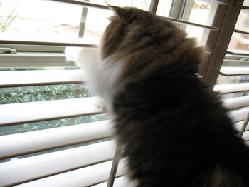 Persian cat looking out window