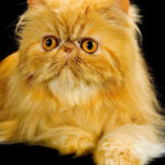 Red Tabby Persian cat