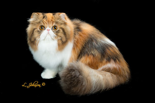 Pelaqita She's No Second-Hand Rose, brown patch tabby and white Persian cat