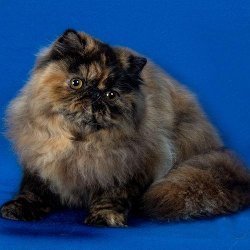 Pelaqita Leap O Faith, tortie Persian cat
