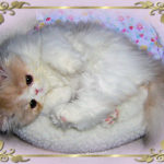 cream and white persian kitten