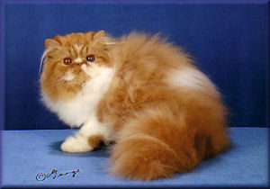 Red tabby and white Persian kitten