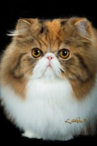 Brown patch tabby and white Persian cat