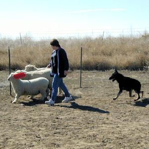 woman with sheep and German Shepherd Dog