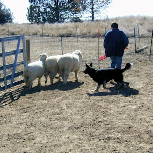 woman with German Shepherd Dog and sheep