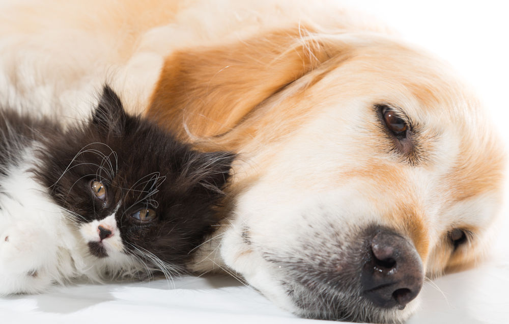 Golden Retriever with black and white kitten