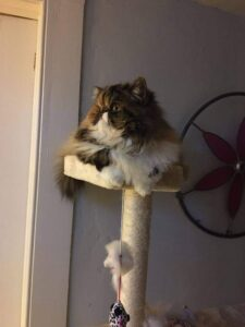 Persian cat sitting in cat tree