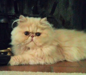 Cream Persian kitten