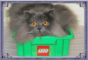 blue persian cat on lego box