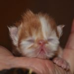 a one day old Persian kitten