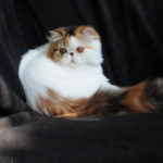 calico Persian cat