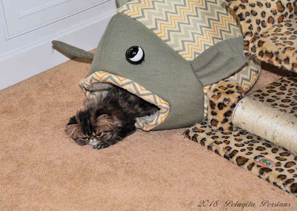 Persian kitten in fish mouth