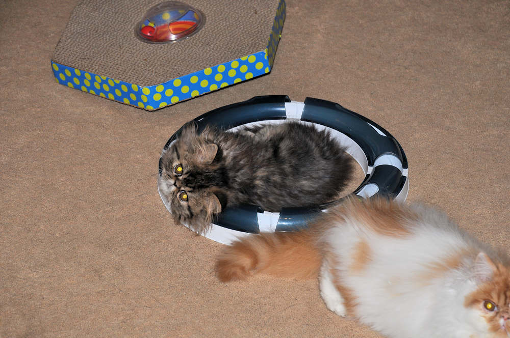 Persian kittens laying in ring toy