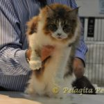 cat at cfa cat show