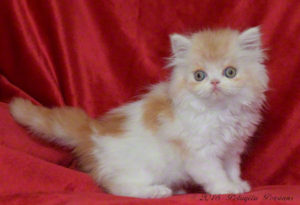 Cameo and White male Persian kitten