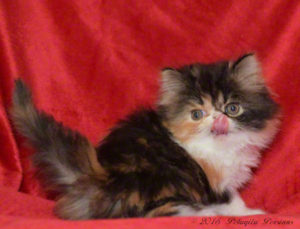 Brown Patch Tabby & White female Persian kitten