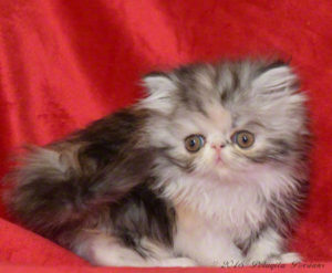 Silver Patch Tabby and White female Persian kitten