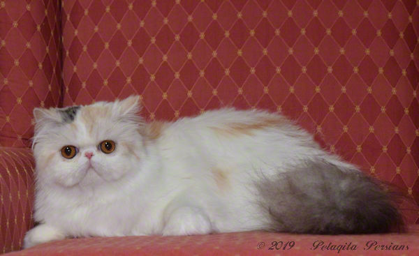 CH  Pajean's Rumor Has It of Pelaqita, Silver Patch Tabby & White Persian cat
