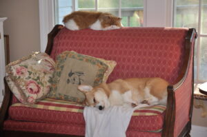 Corgi dog and Persian cat sleeping together