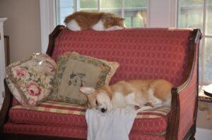 Corgi dog and Persian cat sleeping together