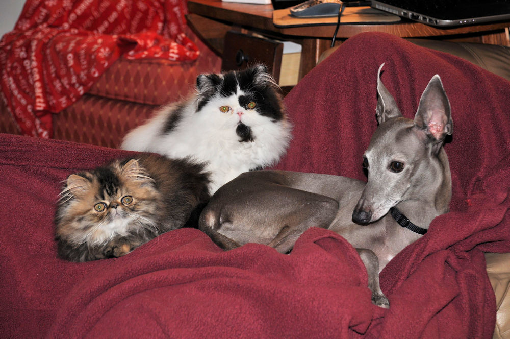 Two Persian kittens snuggling with an Italian Greyhound dog