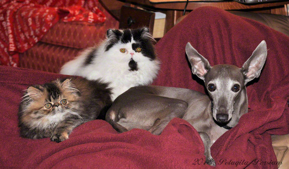 Italian Greyhound dog and two persian kittens