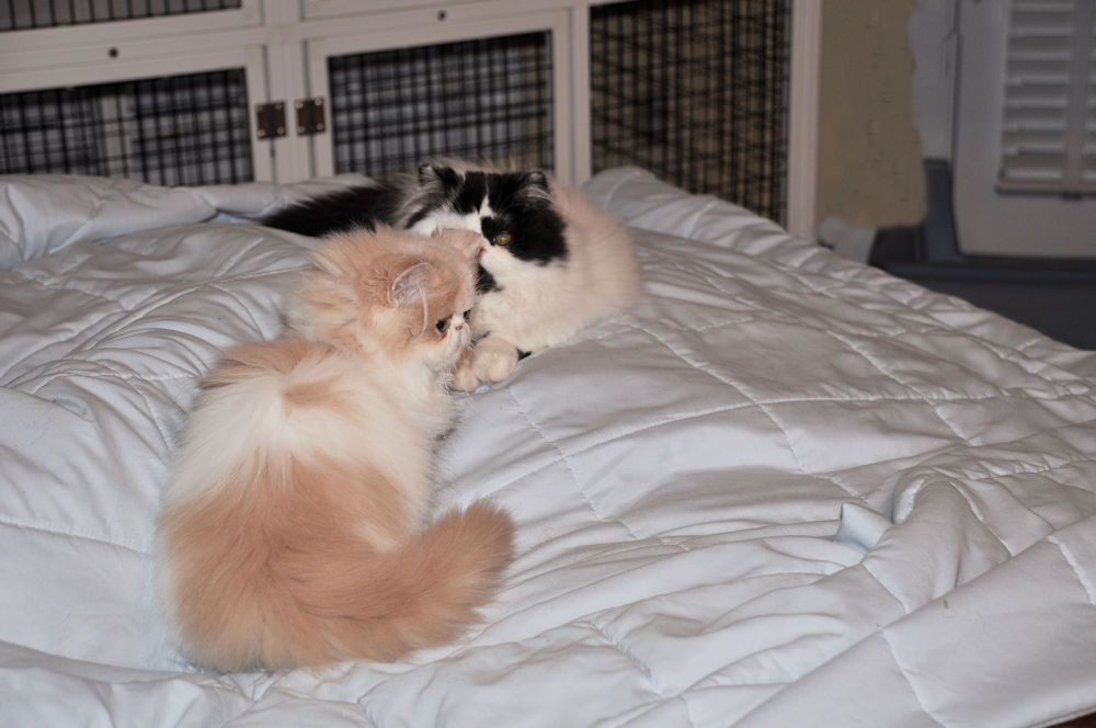 Two Persian kittens on a bed