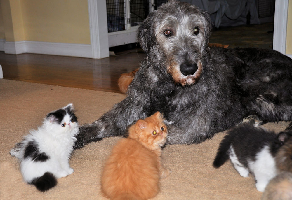 Irish Wolfhound dog with three Persian kittens