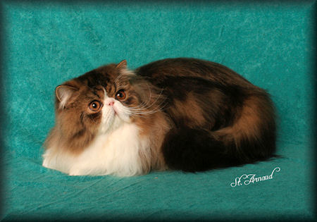brown tabby & white Persian cat