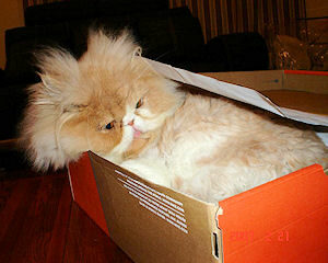 Persian cat laying in shoe box