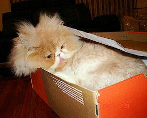 Persian cat laying in shoe box