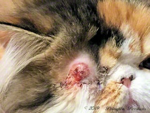 Persian kitten with blister on eyelid