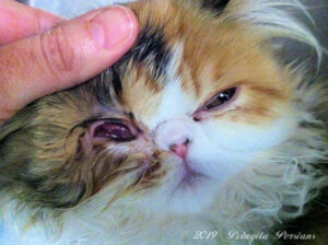 herpes virus eye ucler in Persian cat