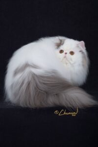 blue and white persian cat male