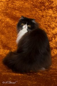 Black and white Persian cat for sale