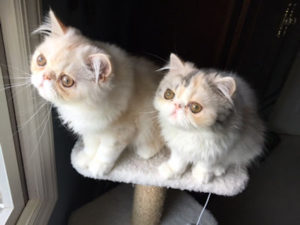Two Persian kittens