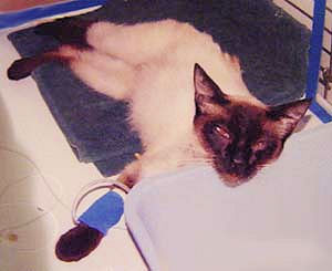 siamese cat in kidney failure