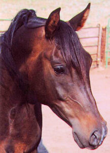 Arabian horse head shot