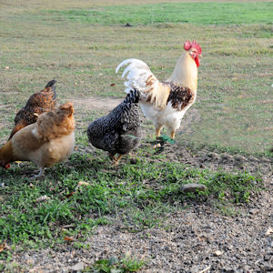 several chickens in pasture