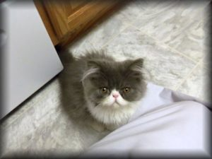 Blue and White Persian kitten named Oliver