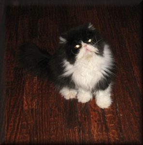 Black and White Persian cat named Oreo