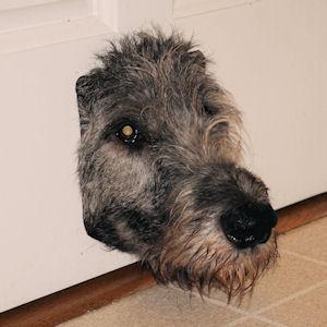 irish wolfhound dog sticking his head through the cat door