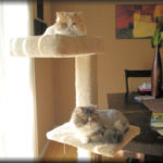 two Persian cats on cat tree