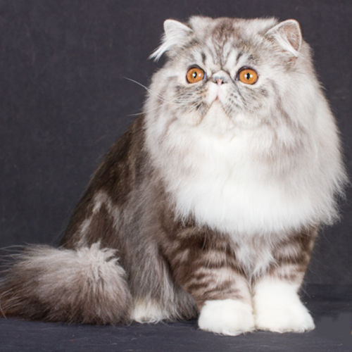Silver tabby & white Persian cat
