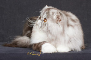 silver tabby and white Persian cat
