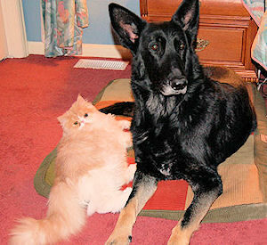 Persian cat laying next to a German Shepherd dog