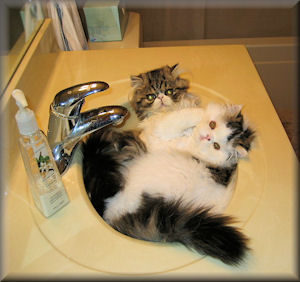 two persian cats in sink