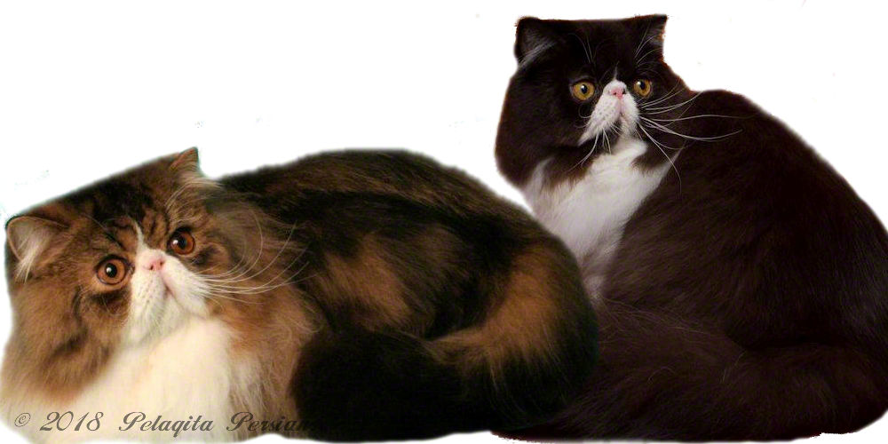 A Black and White Persian cat and a Brown Tabby and White Persian cat