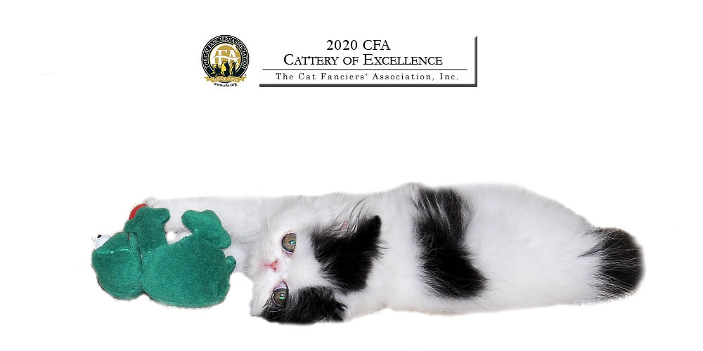 CFA Cattery of Excellence - January 29, 2020 through January 29, 2021.