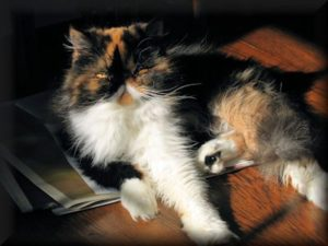 Calico Persian cat named Chessie
